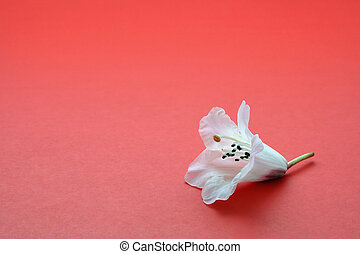 Lonely flower - One white flower on red, symbolizes...