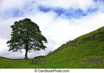 lone tree - a lone tree in a valley along hadrians wall