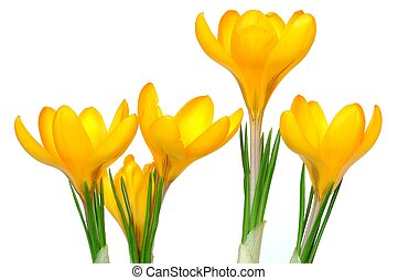 Crocuses - Isolated crocuses