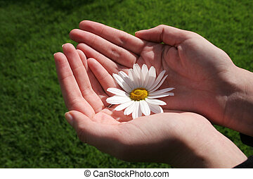 Flower and Hand - Femenine hands holding white daisy with...