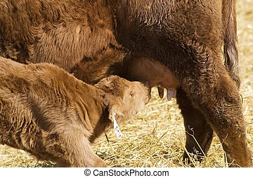 Lunch Time - A young calf obtains nourishment from its...