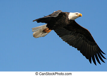 squamishbaldeagle - A bald eagle in flight.