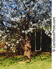 Cherry tree. - Flowered cherry tree with a swing - Music of...