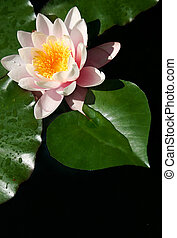 Water Lily Heart - Water lily flower with heart-shaped leaf