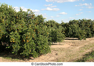 Roadside Orange Grove - A florida orange grove with oranges...