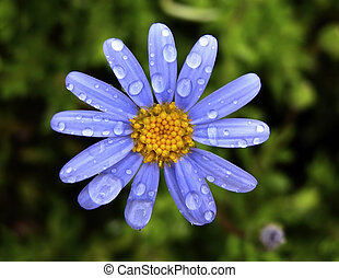 Spring flower with waterdrops