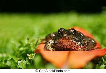 Frog on Leaf - Rana Perezei sitting on a leaf in a field