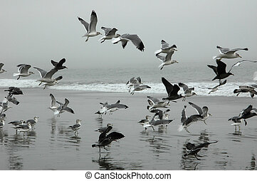 Flying Seagulls - Seagulls flying on Drakes Beach,...