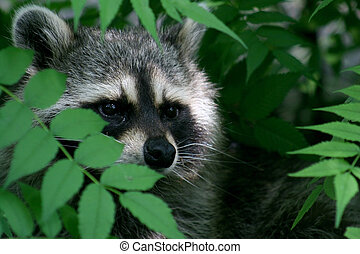 raccoon - a raccoon face