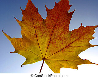 maple leaf - autumnally view of a maple leaf