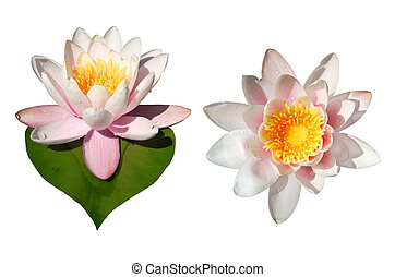Waterlily Flowers Isolated - Isolated waterlily flowers, one...
