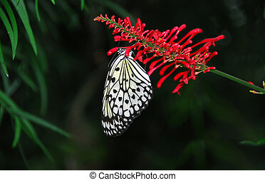 Rice paper butterfly on red flower