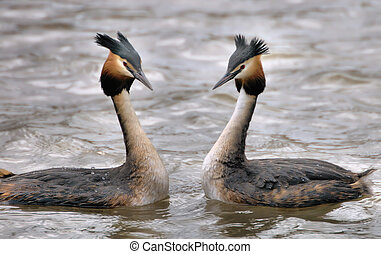 Grebes - Two Grebes facing each other