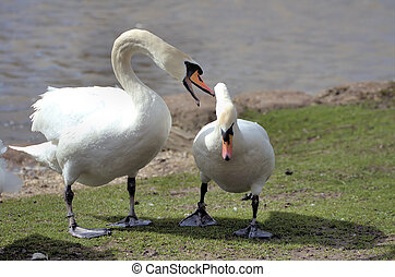 Don\\\'t mess with me - Angry swan