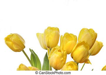 黃色, 鬱金香