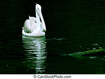 Pelican and black water