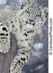 snow leopard cub - a snow leopard cub resting on top of a...