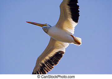 pelican in flight - a pelican in flight
