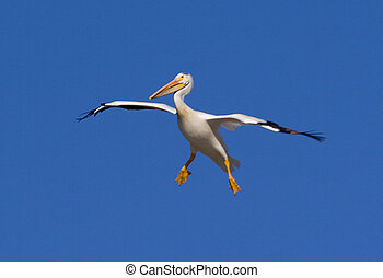 pelican - a pelican in flight