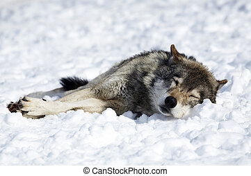 Wolf - The wild Wolf sleeping on a snow