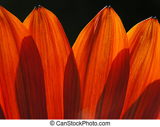 transparent petals - Orange transparent petals on black...