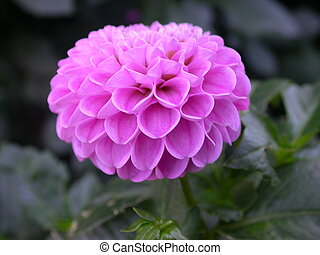 Pink Dahlia - pink dahlia in autumn