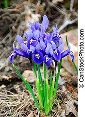 Spring irises - Bright blue spring irises