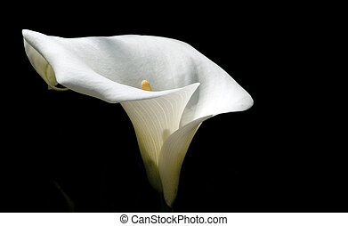 Lilly - White Calla lilly on black