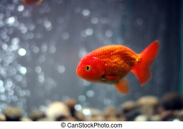 Lion head goldfish close up