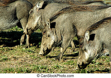 Wild Boars - Group of grazing Wild Boars