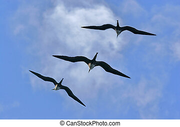 Magnificent frigatebird flyight - ocean, sea bird