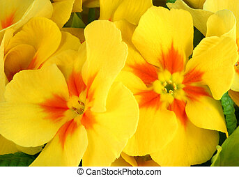 Primrose Beauties - Yellow and red primrose flowers in...