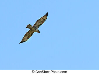 The Buzzard in Flight