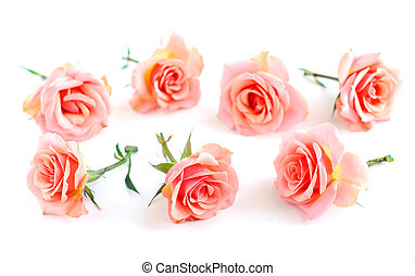 Rose blossoms on white background