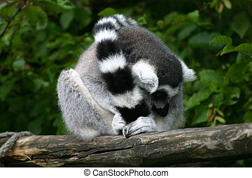 Lemur catta - Ring-tailed lemur on a tree