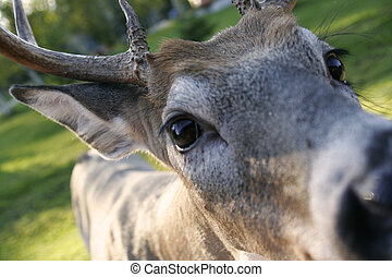 White Tailed Deer - a wide angle closeup of a white tailed...