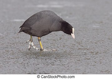 Eurasion coot on ice 2 - An eurasian coot walking over ice,...