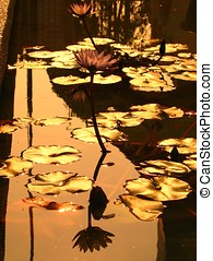 Golden Lotus Pond - -- Water Lilies at Sunset