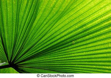 Fan Palm Leaf - Fan Palm (Licuala elegans) leaf.