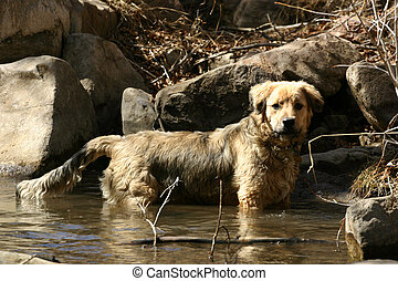 Wading - Young retriever puppy wades into to creek as part...