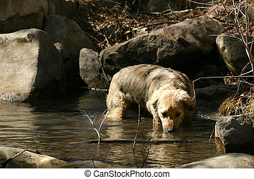Wading - young retriever sneaks a drink as he wades through...