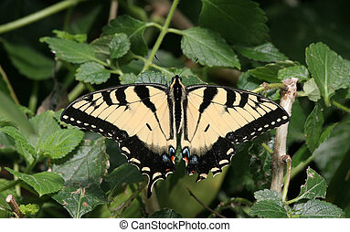 Swallowtail Butterfly - Closeup of a yellow swallowtail...