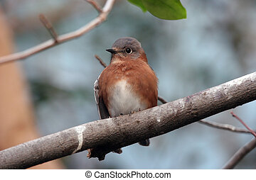 Perched Bird - A cute brown bird perched in a tree.
