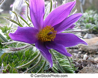 pasqueflower in a botanic garden