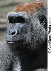 The great ape - Ape close-up