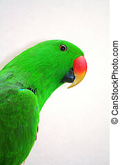 Eclectus Parrot - at the zoo