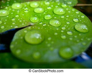 Drops on leaf - A water lily leaf on water surface after the...