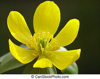 Yellow winter aconite  bud against dark background
