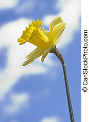 Daffodil and Clouds 2 - A daffodil shot against an out of...