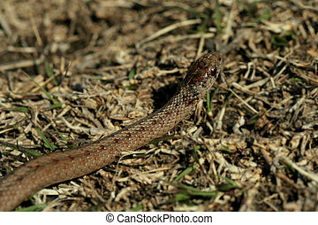 garter snake - tiny garter snake at Homestead National...